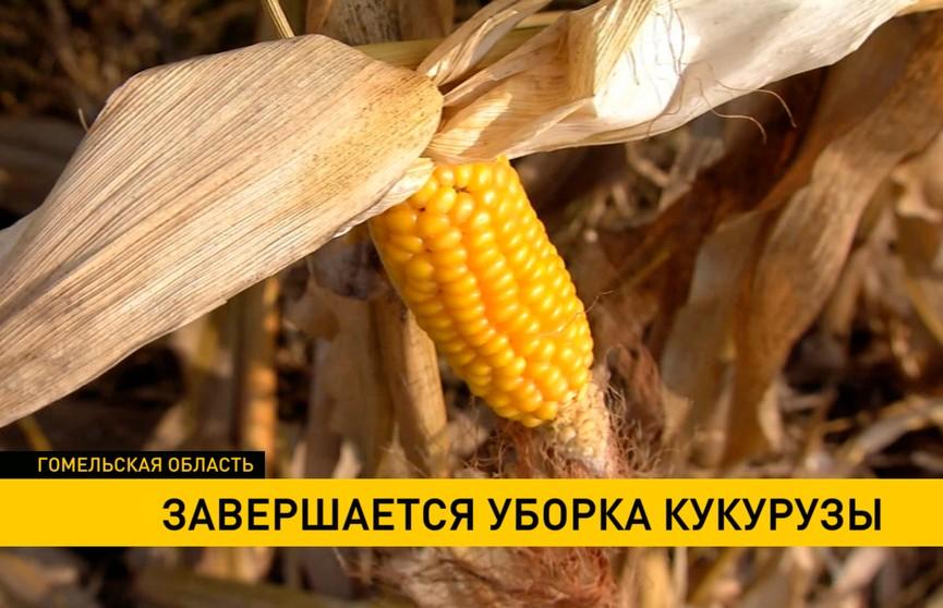 Уборка кукурузы завершается в Гомельской области