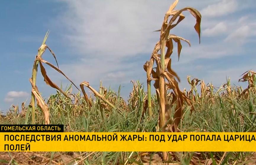 Гомельская область из-за засухи потеряла десятую часть урожая кукурузы