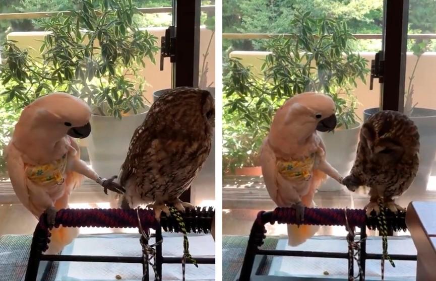 Видеофакт: попугай пытается соблазнить сову