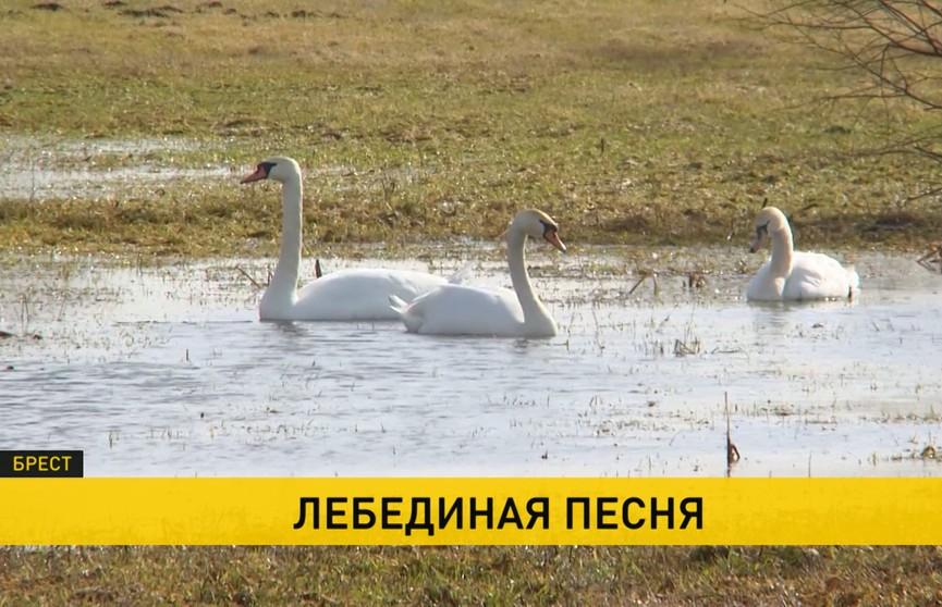 Лебеди гибнут на окраине Бреста. В чем причина? Разбирались вместе с экологами