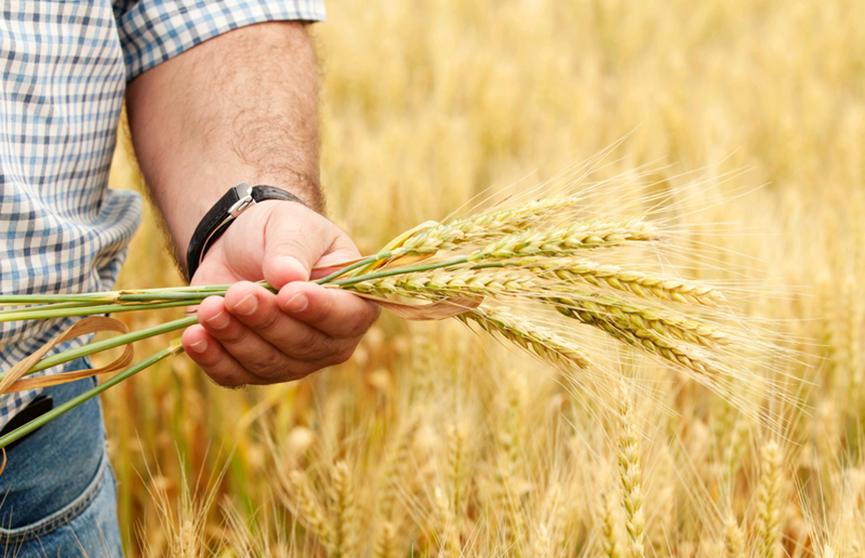 Белорусские аграрии на финише: в закромах уже более 6 миллионов тонн зерна