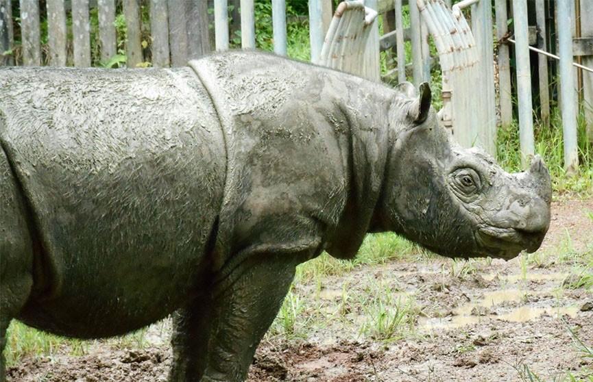 Умер последний самец суматранского носорога в Малайзии