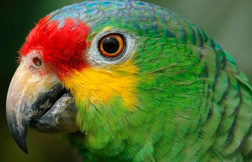Говорящего попугая-пособника наркоторговцев «задержала» полиция Бразилии