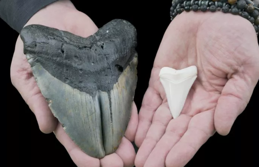 Американка нашла зуб огромной доисторической акулы во время прогулки