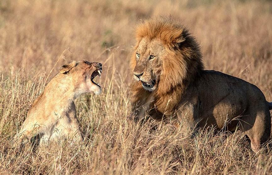Фотофакт: лев оробел перед львицей