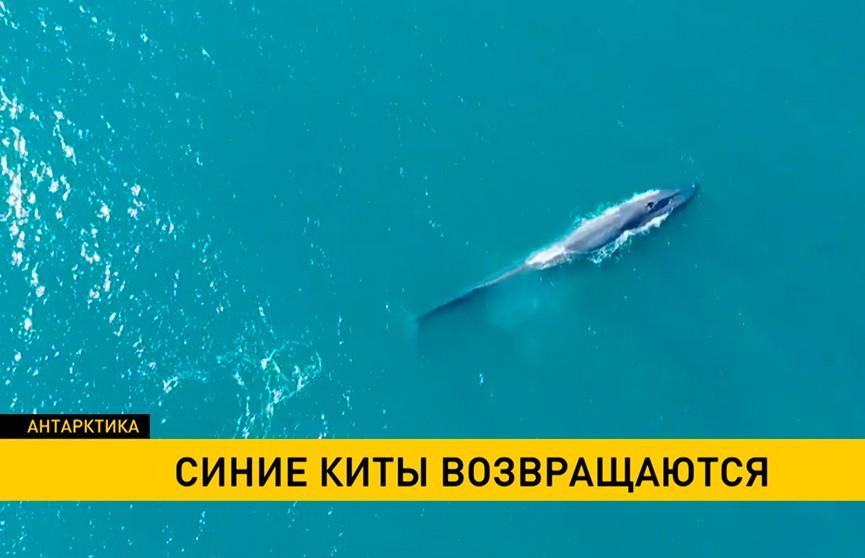 Ученые: синие киты возвращаются в Атлантику
