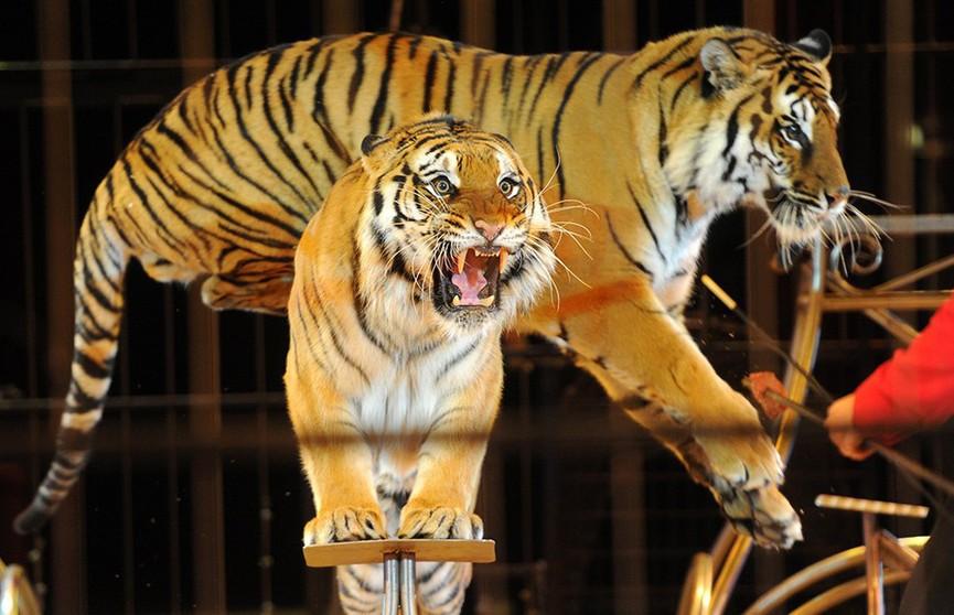 Трагедия в цирке: тигры загрызли известного итальянского дрессировщика
