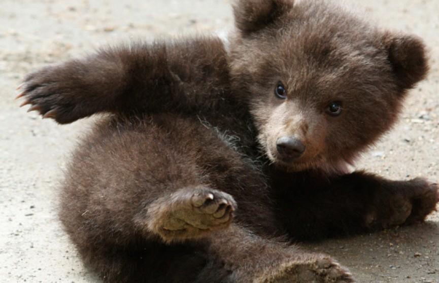 Медвежонок устал и решил присесть отдохнуть на дороге в Бурятии (ВИДЕО)