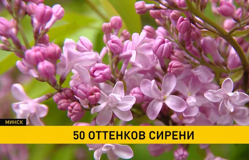50 оттенков: в Центральном ботаническом саду стартовала неделя сирени