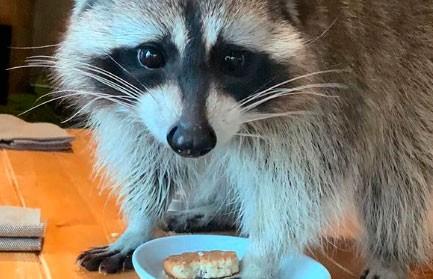 Бродячий енот украл печенье и устроил погром в кафе (ВИДЕО)