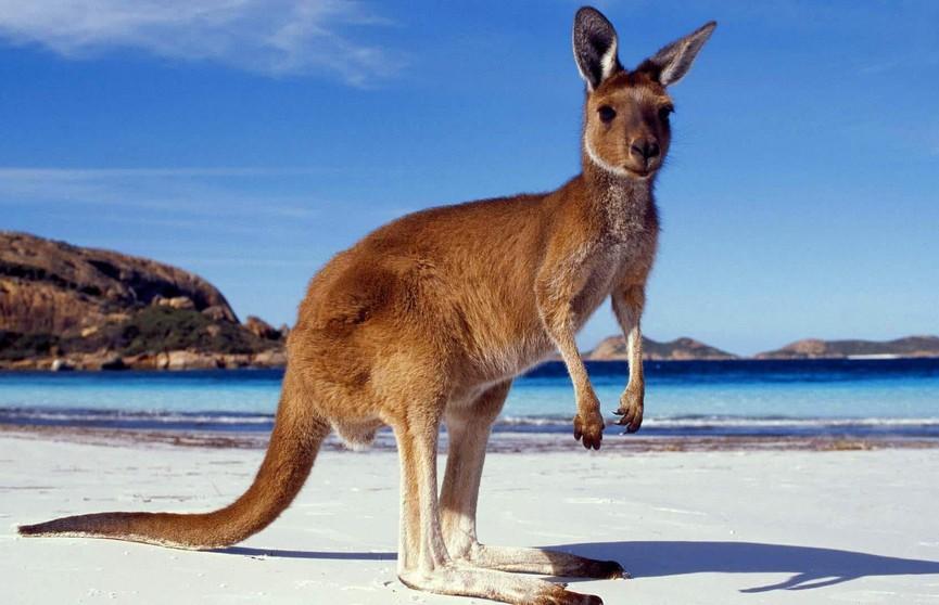 Парень так отметил Новый год, что усыновил кенгуру