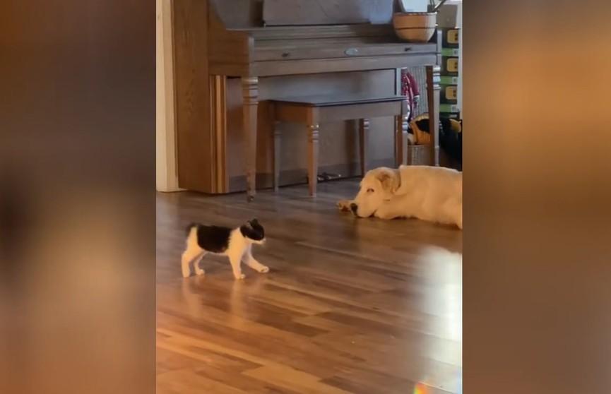 Котенок, задирающий алабая, заставил хохотать соцсети