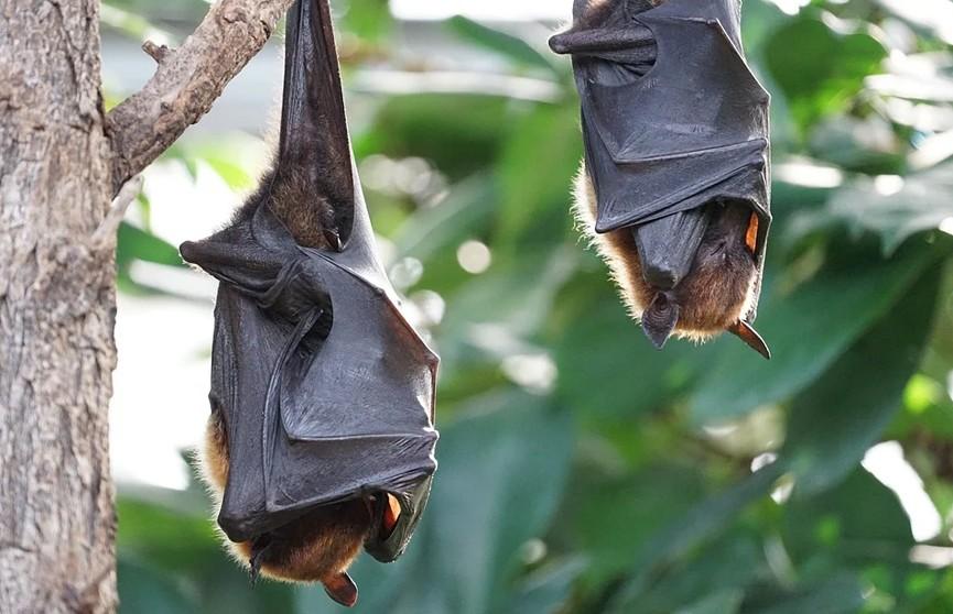 В Индии у летучих мышей нашли смертельно опасный для людей вирус Nipah