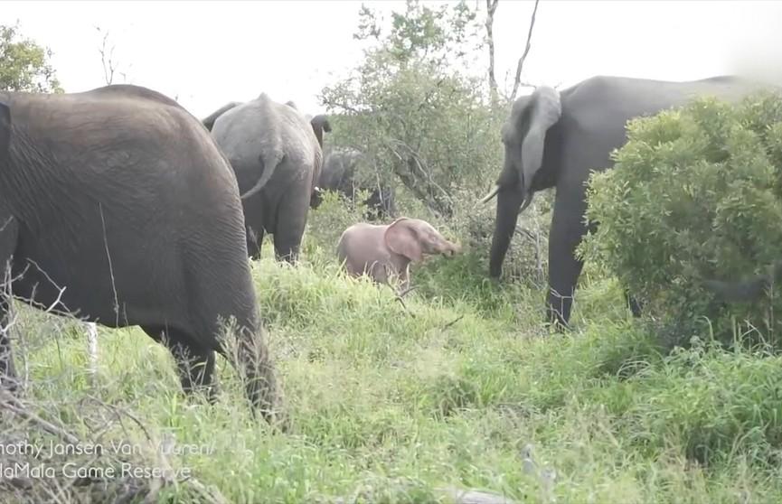 Розового слонёнка в заповеднике Мала-Мала удалось снять на видео