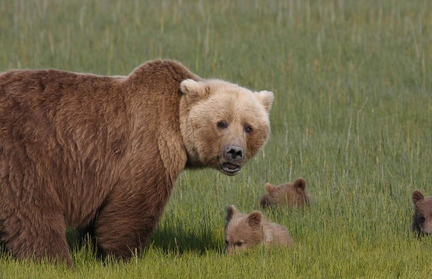 Медведица одним прыжком остановила машину, чтобы защитить медвежонка (ВИДЕО)