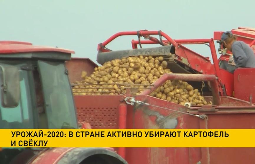 В Беларуси активно убирают картофель и свёклу