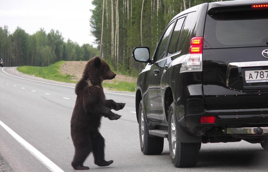 Медведи-попрошайки обступили машину с людьми в Якутии (ВИДЕО)