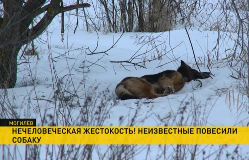 Повесивших собаку живодёров ищут в Могилёве. Заведено уголовное дело
