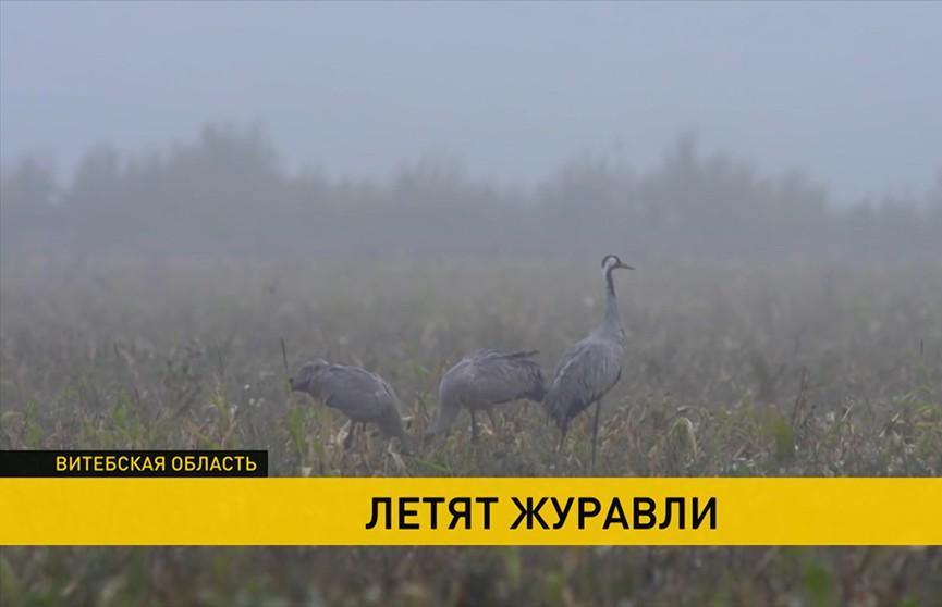 Через болото Ельня пролетают 35 тысяч серых журавлей
