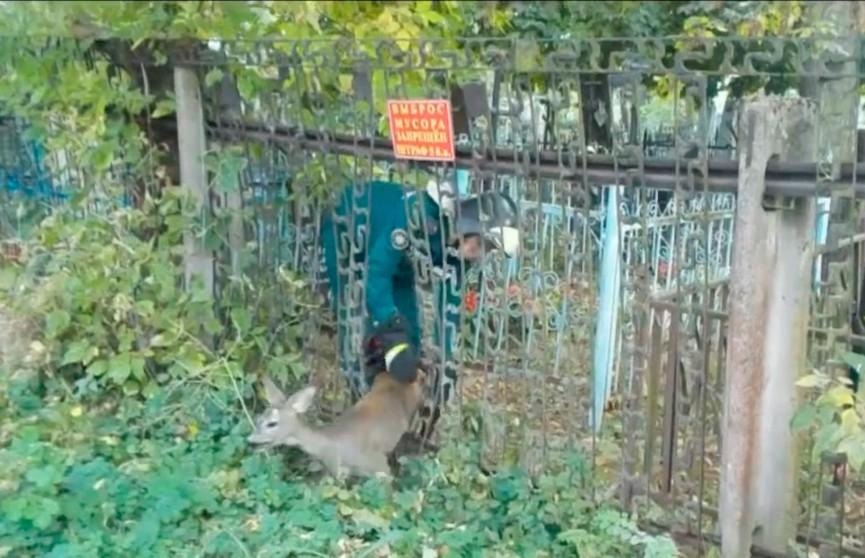 Косуля застряла в заборе в Бобруйске: ее спасли (ВИДЕО)