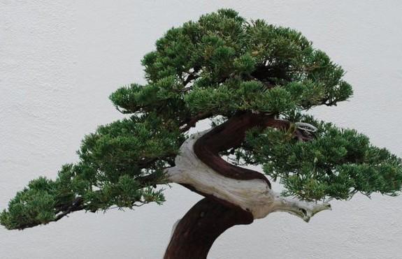 400-летнее дерево украли в Японии: хозяева просят воров поливать его