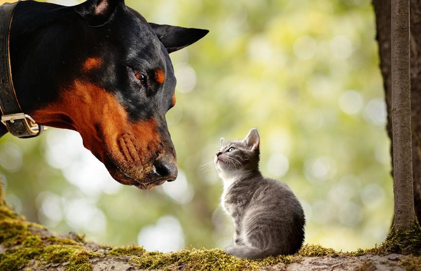 Собака-доберман воспитывает и кормит котенка! Посмотрите, какая она заботливая – это невероятно!