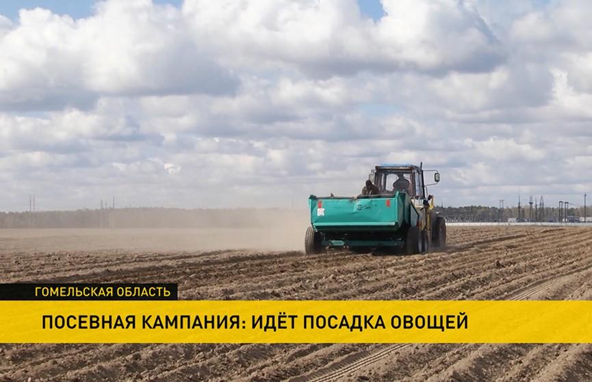 Хозяйства Гомельской области занимаются посадкой овощей