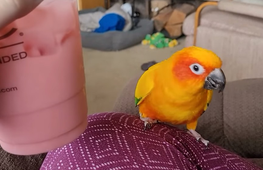 Попугай танцует под напитки со льдом – это очень мило (ВИДЕО)