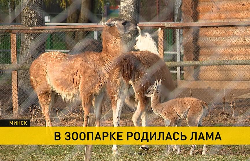 В Минском зоопарке родилась лама