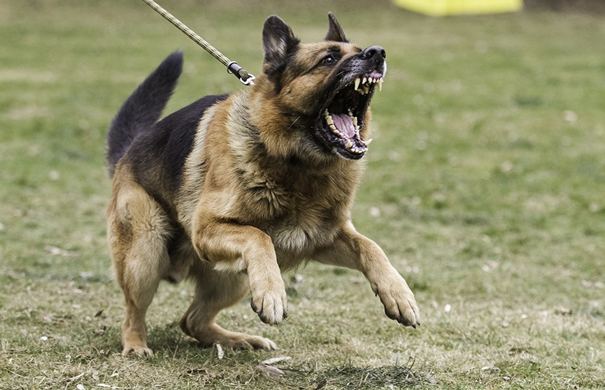 Домашняя собака загрызла девочку в Калининградской области
