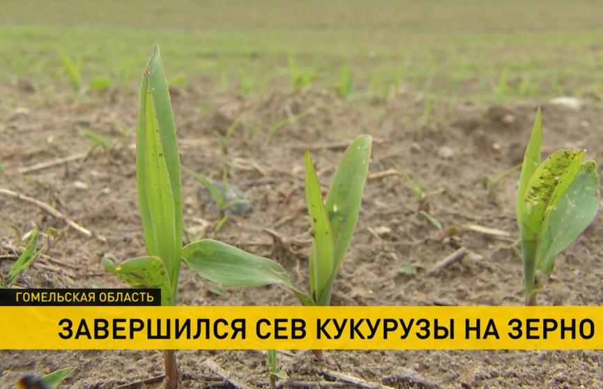 В Гомельской области завершили сев кукурузы на зерно. Из-за погодных условий отстали на две недели