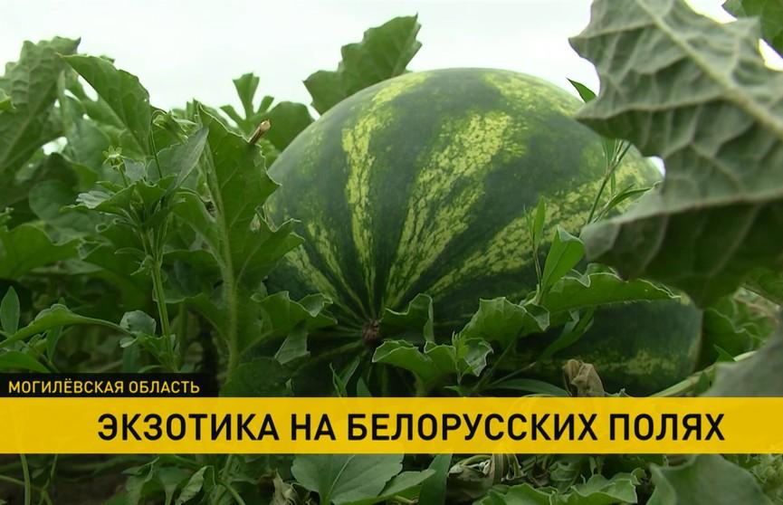 Арбузы из Могилевской области: когда можно будет попробовать первый урожай?