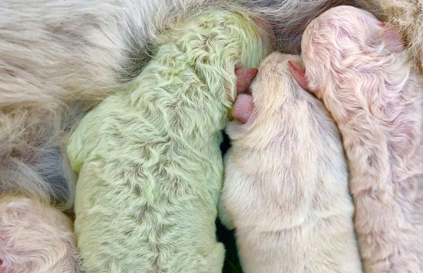 В Грузии родился редкий зеленый щенок