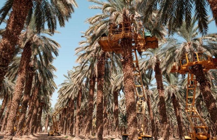 Финиковые пальмы из древних семян времен Иисуса Христа вырастили ученые в Израиле