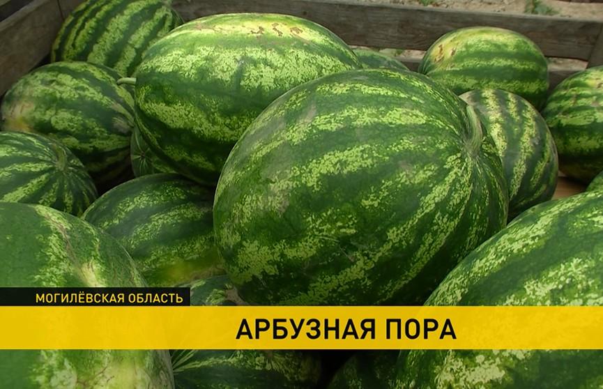На Могилёвщине приступили к сбору арбузов