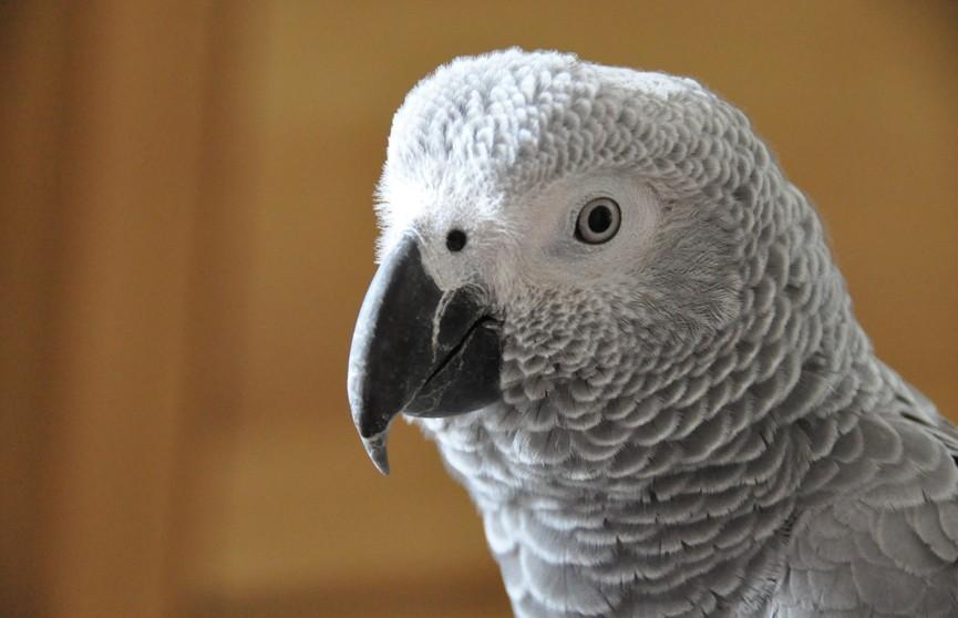 Попугай заказал свинину, расхохотался и стал звездой Сети (ВИДЕО)