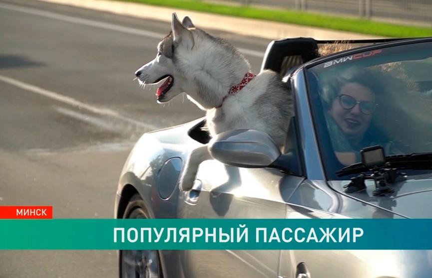 Хаски в кабриолете катается по Минску. Необычная история дружбы кабриопса Чарли и его хозяина