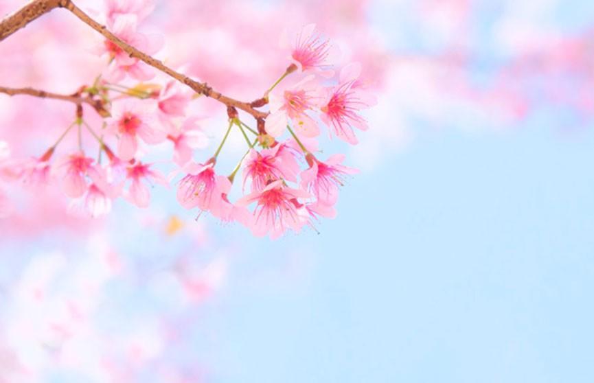 Сезон цветения сакуры начался в Японии