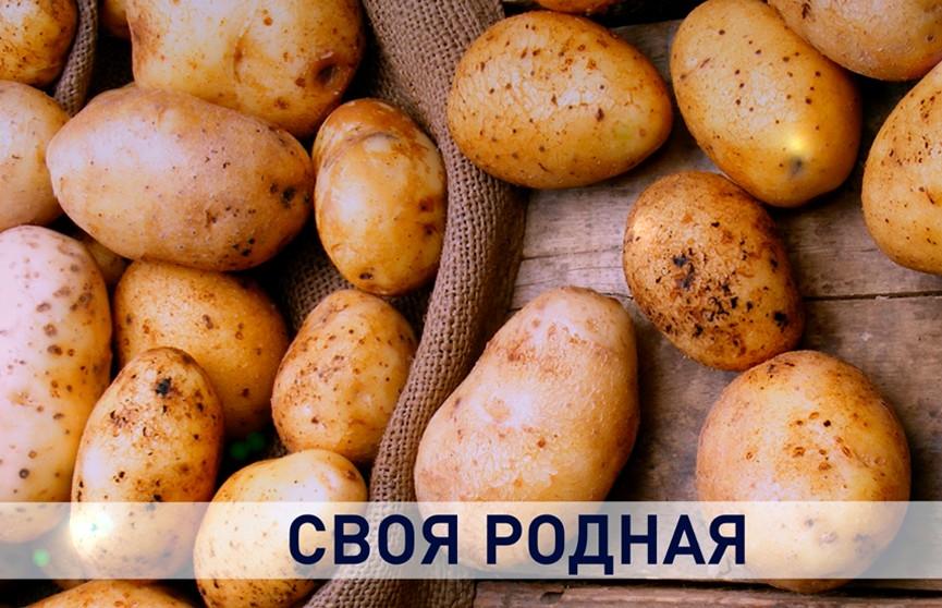 Белорусская картошка: народное достояние и элемент политики «от земли»