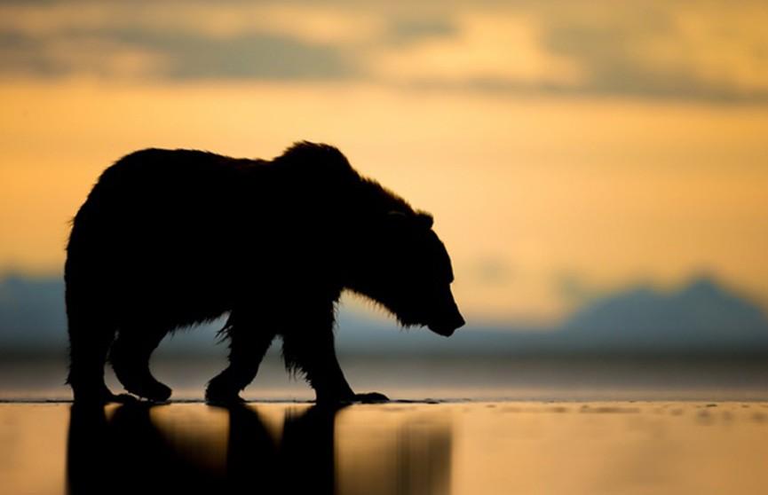 Отомстил за свою смерть: мёртвый медведь едва не убил охотника в США