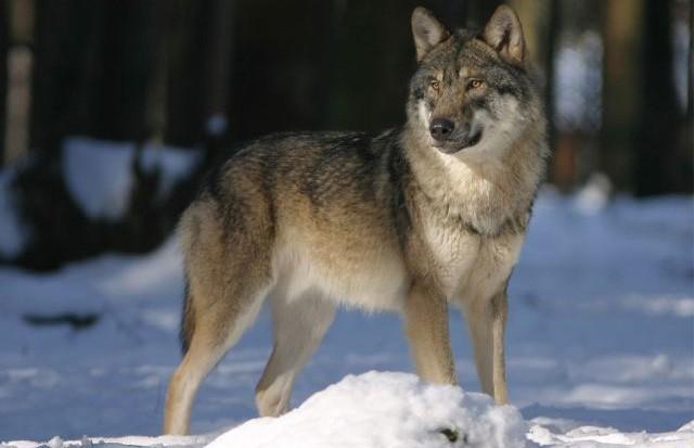 Бешеный волк покусал женщину в Сенненском районе