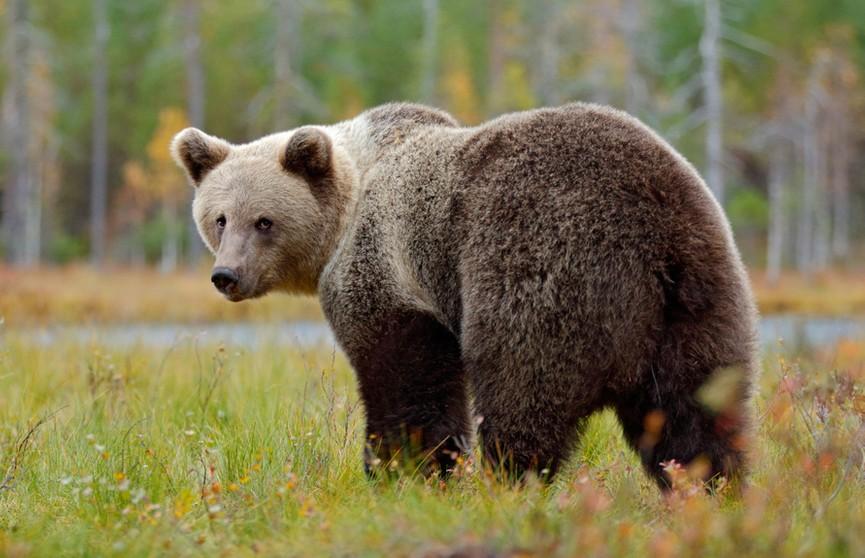 Смотреть страшно! Смелый ретривер не дал медведю зайти в дом. Собака и хищник стояли нос в нос! (ВИДЕО)