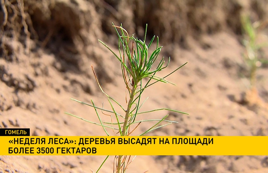 «Неделя леса»: белорусов приглашают присоединиться к масштабной «зелёной» кампании