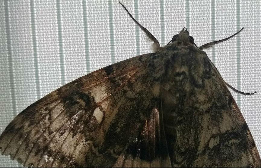 Бабочку размером с птицу обнаружили в Чернобыле