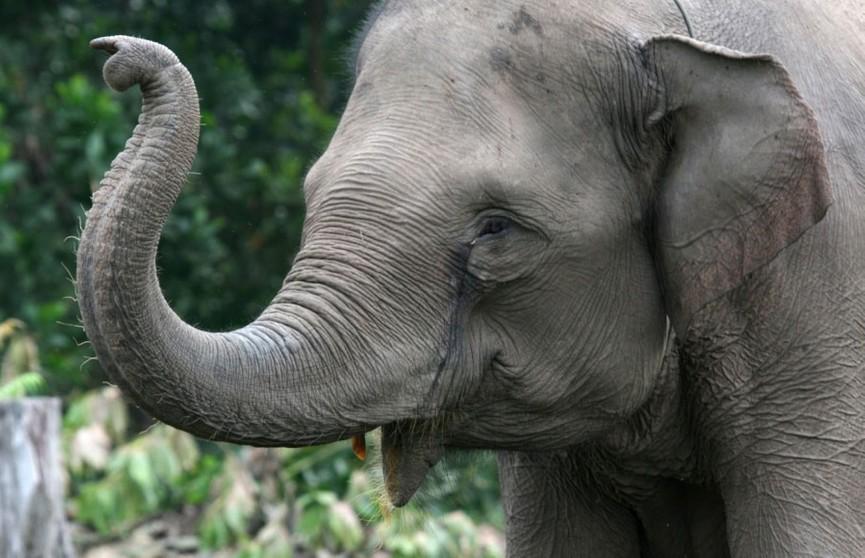 Самое милое ограбление: слоны украли с грузовика сахарный тростник (ВИДЕО)