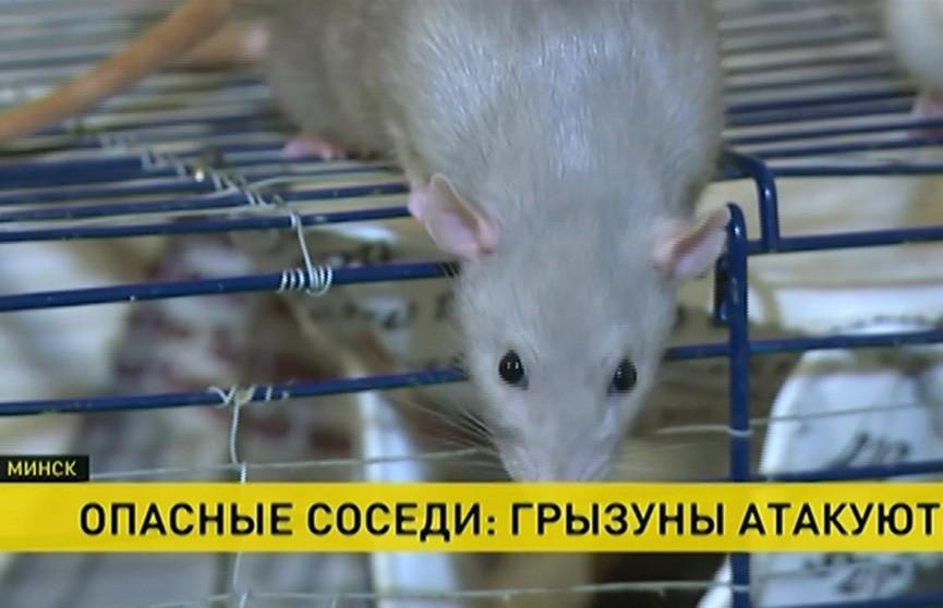 Крыса укусила девочку в подъезде минской многоэтажки. Стоит ли бояться грызунов и как с ними бороться?