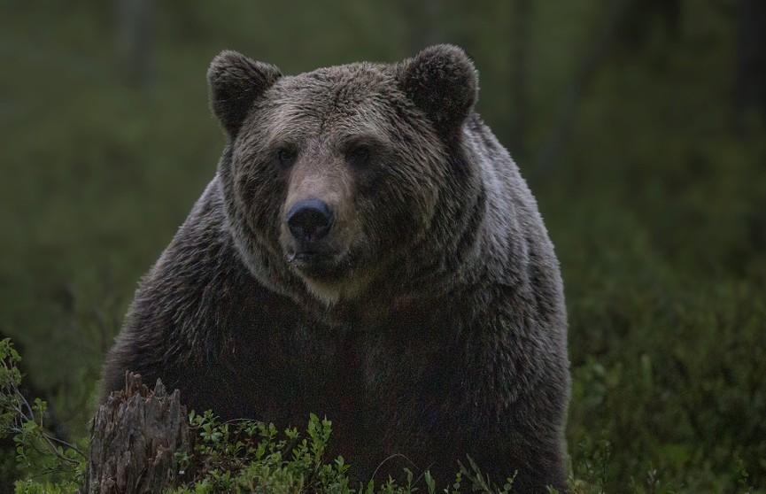 Две маленькие собаки прогнали из дома медведя и восхитили всех (ВИДЕО)