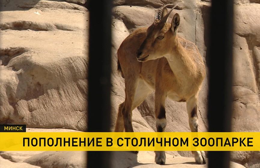 В Минском зоопарке в семействе мархуров появился малыш