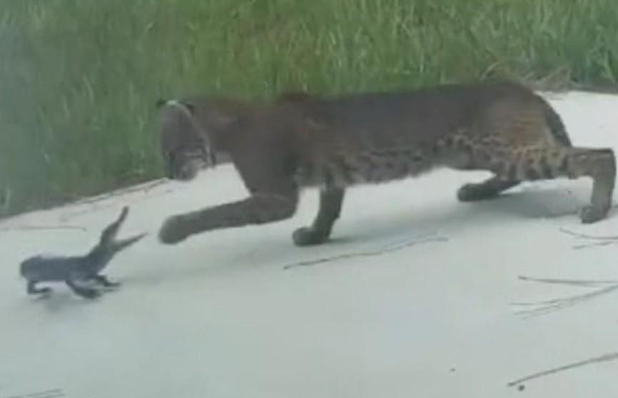 Смертельная схватка детеныша аллигатора с рысью попала на видео