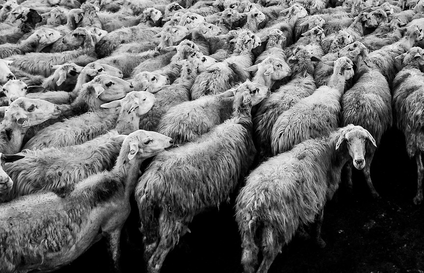 В Черном море утонули 14 тысяч овец